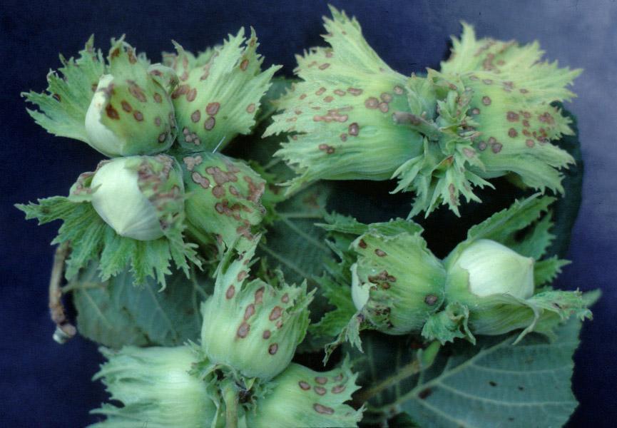 Xanthomonas arboricola pv. corylina