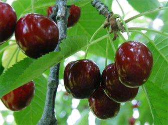 apricot and sweet cherry pandowdy recipes dishmaps mini sweet cherry ...